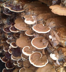 buy Reishi Mushrooms